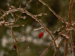 Rose Hips on the Tree of Life
