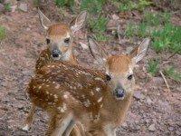 Deer in the Catskills