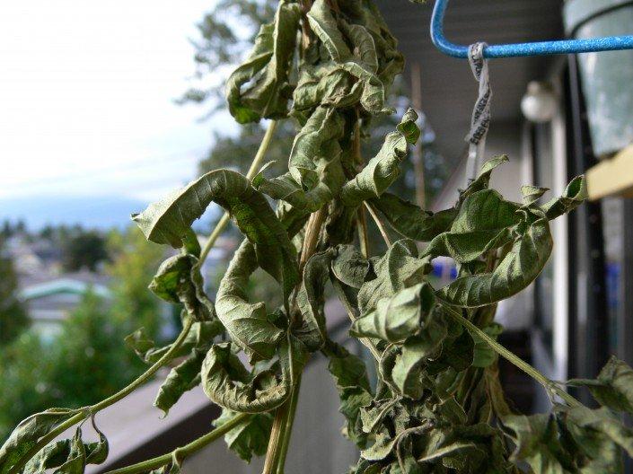 dried louisa