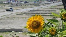 Sunflowers and Bacteria Clean up Radiation