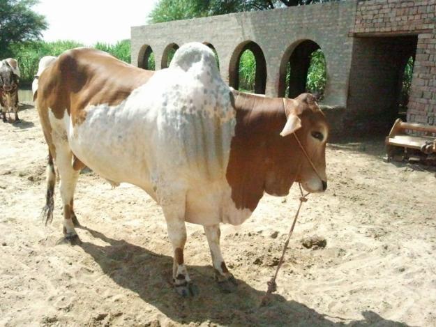 Punjabi Cow