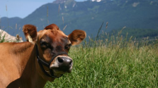 Cow-Share Member Speaks Out About her Decision to Drink Raw Milk