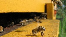 Neonicotinoid Pesticides Cause Colony Collapse Disorder
