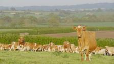 Beautiful Guernseys at Hurdlebrook Dairy