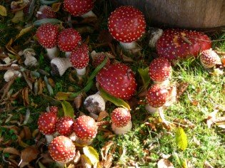 amenita-muscaria-vancouver-2