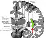 The Brain-Gut-Microbe Axis