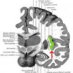 Gray717-emphasizing-insula-150x150