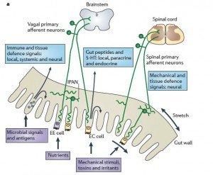 crop-Gut-to-brain-communication--300x247