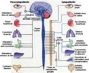 vagus-nerve-300x245