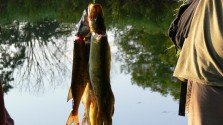 How to fillet chain pickerel, perch and bullhead catfish