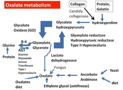 oxalatemetabolism