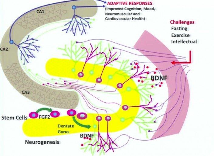 mark-mattson-challenge-neurons