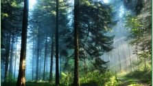 Dendrotherapy and the Energy of the Siberian Cedar